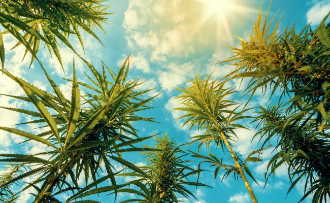Cannabis plants shown against a blue sky background with clouds.