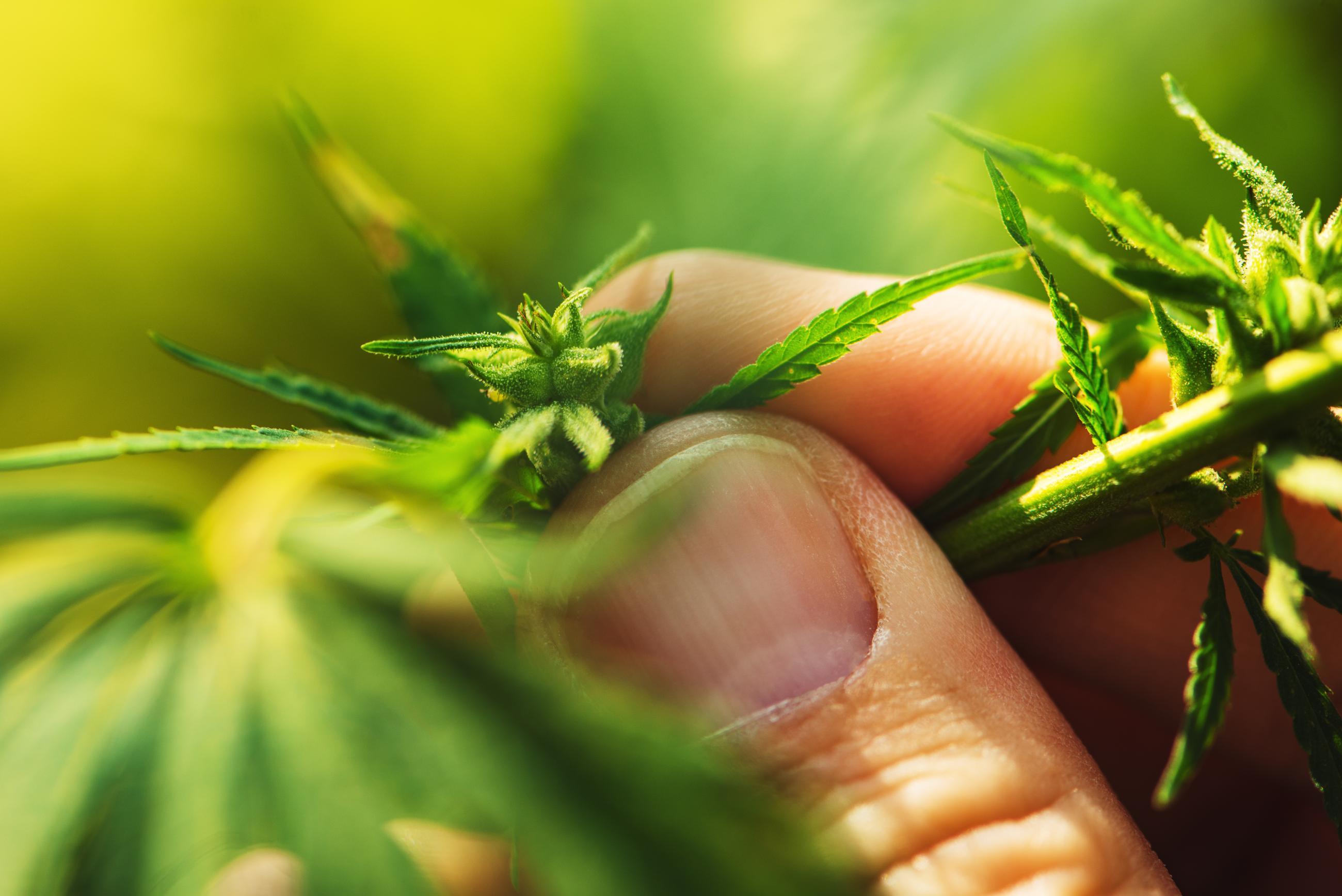 The Newest Method of Using Medical Marijuana: Dabbing | Marijuana Doctor